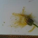 pigment fleur jaune