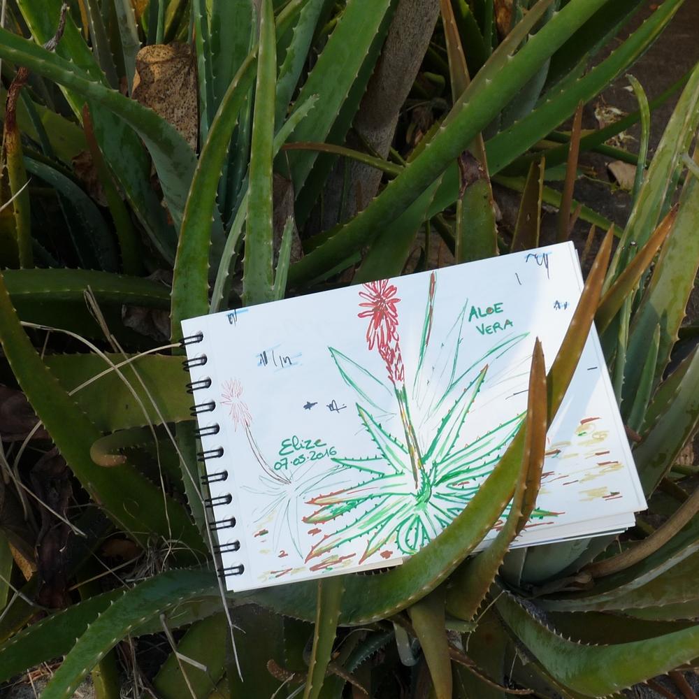 12 fleurs tropicales en photos et dessins pigmentropie - Fleur d aloe vera ...