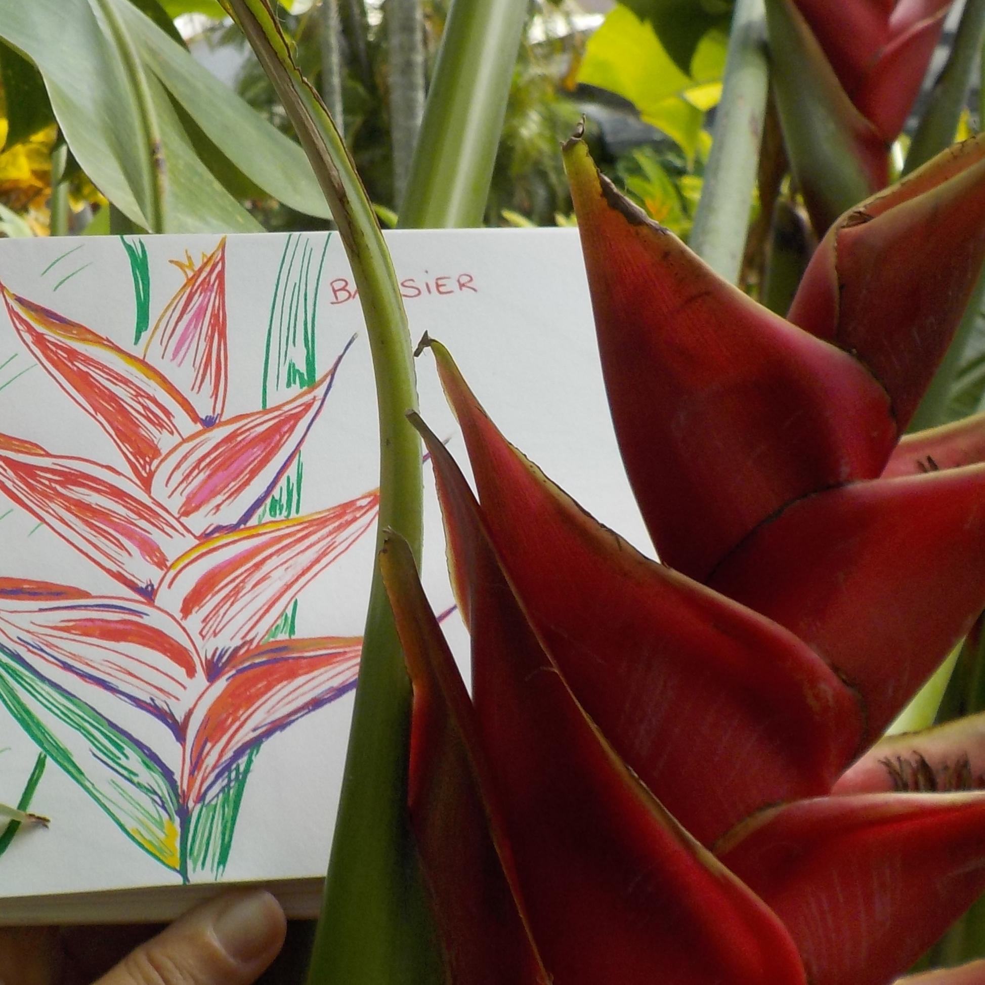 balisier fleur dessin rouge plante tropicale antilles