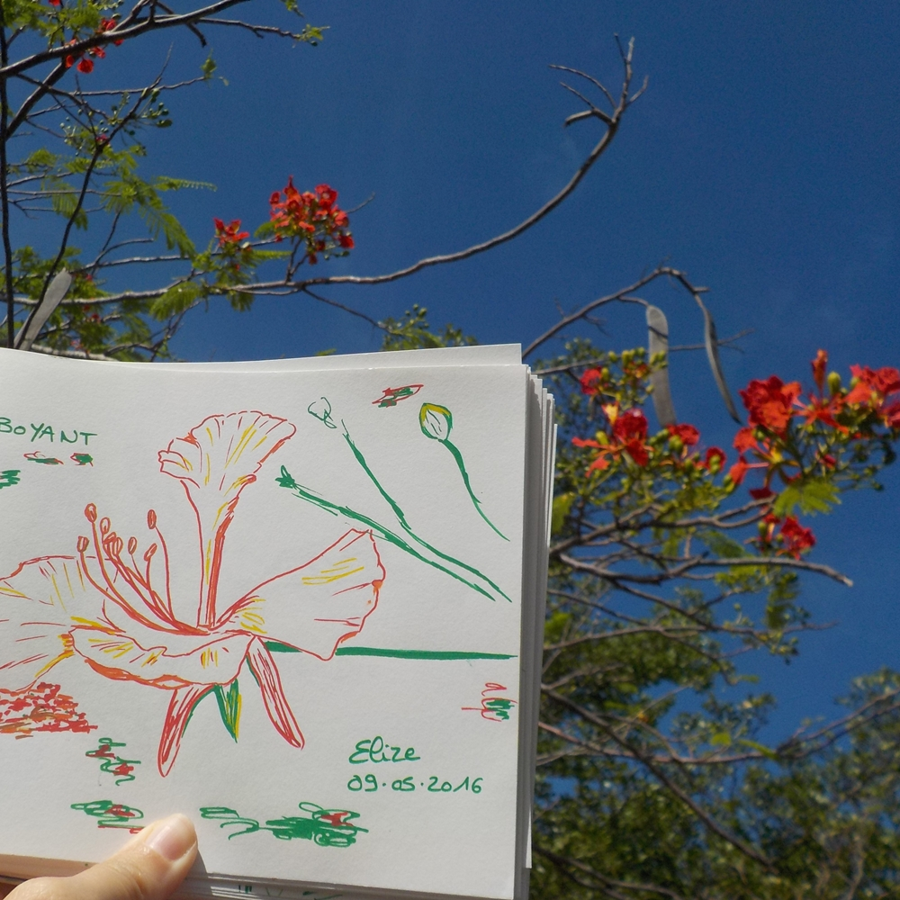 flamboyant arbre antille fleur rouge
