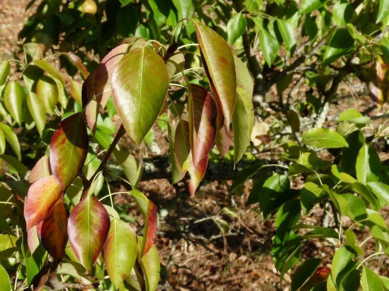 poirier feuille vert rouge