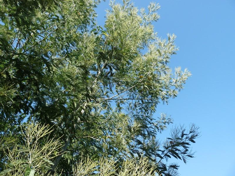 mimosa ciel arbre branche