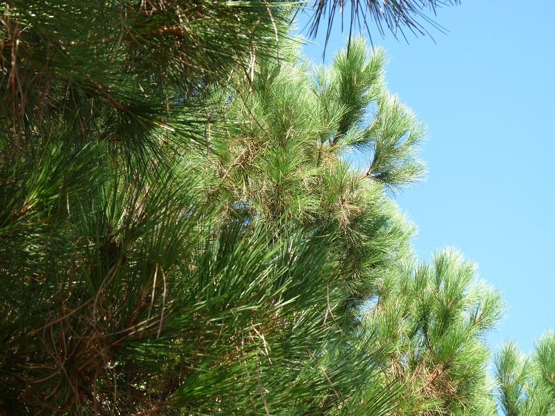 pin arbre ciel épines