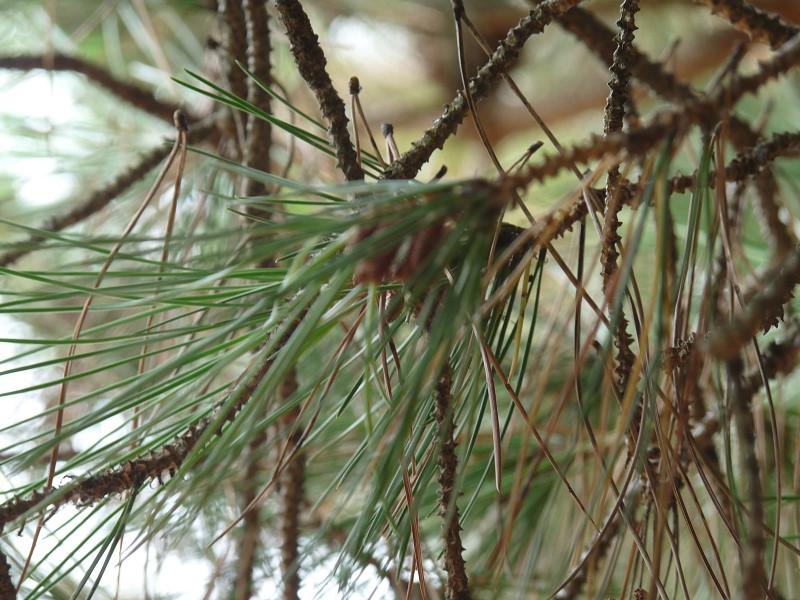 pin arbre détail aiguilles