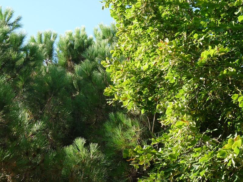 tilleul pin ciel et arbres feuille