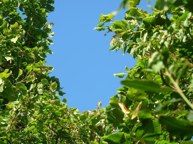 ciel et arbres feuille tilleul