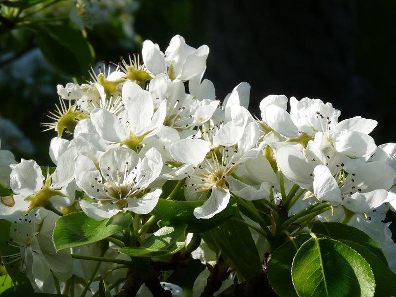 fleur blanche cerisier printemps